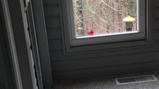 Male cardinal tapping on Window