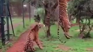 taking 2 risky photos for tigers around forest with tourists