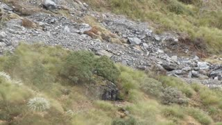 Himalayan Bull Tahrs Blend Well With New Zealand's West Coast Landscape - Video