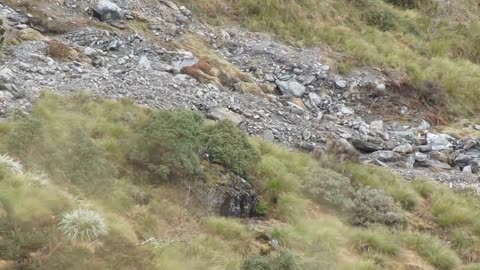 Himalayan Bull Tahrs Blend Well With New Zealand's West Coast Landscape