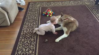 Siberian Husky Gently Plays With A Baby
