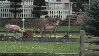 Deer Gets Frisky With Lawn Ornament Deer - Video