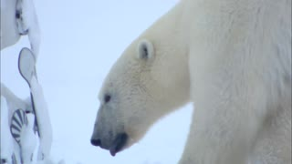 Flirting Polar Bear - Video