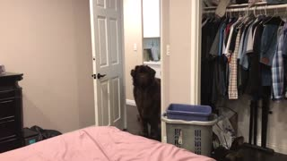 Gigantic Case Of Zoomies Puts Giant Newfoundland Pup In Crazy Mode - Video