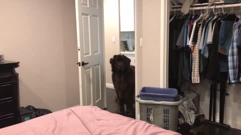 Gigantic Case Of Zoomies Puts Giant Newfoundland Pup In Crazy Mode