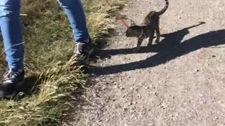 Unbelievable Kitten walks on leash Outdoor Park! - Video