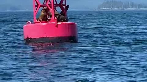 Sea Lions Launch onto Buoy to Relax