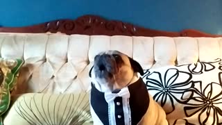 "Pug Screams Over Owner's ""Chubby Pug"" Song"
