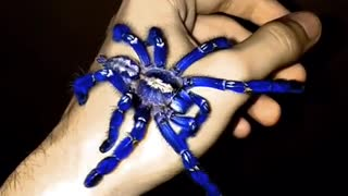 Have You Ever Seen a Blue Tarantula? - Video