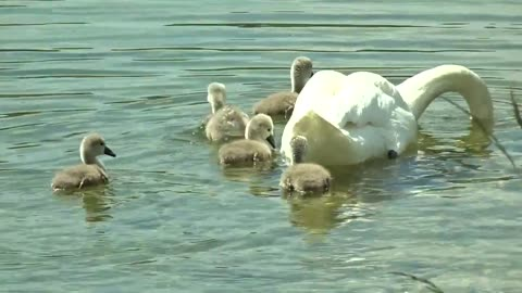 Baby swans enjoy bath with their mother