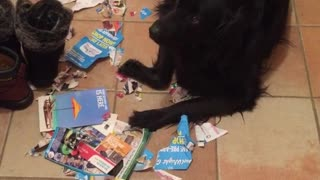 Black dog laying in pile of shredded papers - Video