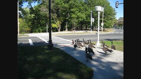 Amazingly clever geese use a crosswalk just like humans