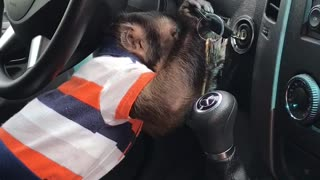 Clever Monkey Shows How Skillful He Can Be When It Comes To Starting A Car - Video