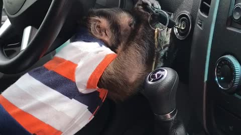 Clever monkey knows how to start the car!