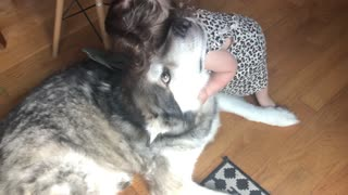 Patient Alaskan Malamute lets baby girl give him a hug