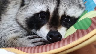 Raccoon is dozing off in the baby reclined cradle.