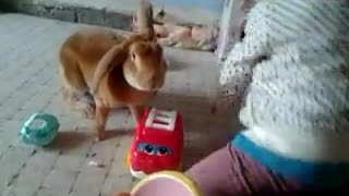 Rabbit Dares to play with Childs toys  - Video