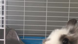 Small white grey rabbit eats food from syringe  - Video