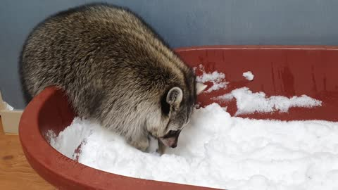 Snow play gift inside the house for raccoon who love snow so much