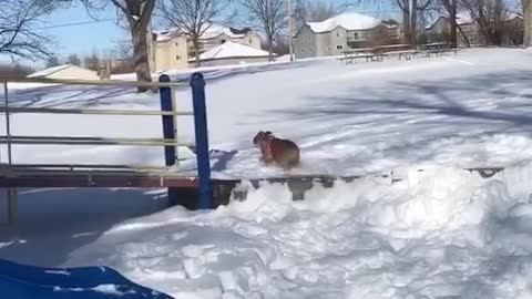 Silly bulldog loves to go down the park slide