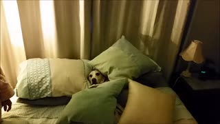 Leroy the beagle really loves pillows - Video