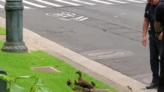 Police Stop Traffic to Help a Family of Ducks Across the Street