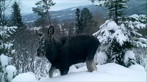 moose in Swedish winter landscape