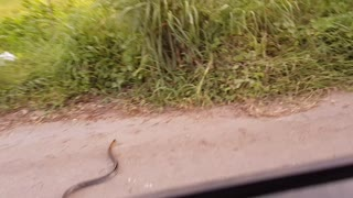 Snake Crossing the Road - Video