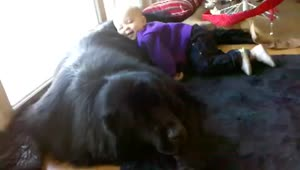 Giant dog shows incredible tolerance - Video