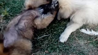 dog friendship - Video