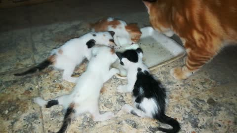 Dady cat Watches Kitties Dairy Eat