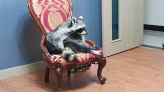 Raccoon sits in a nice chair, whining and grooming.