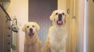Golden Retrievers Perform New Trick Simultaneously