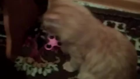 The cat is bastard from the spinner.