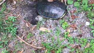 Fenway and the turtle  - Video