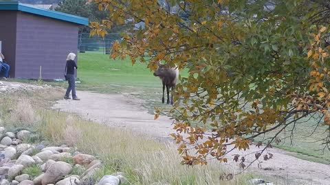 Elk Charges Couple, Forcing Man Into Pond And Woman To Freeze