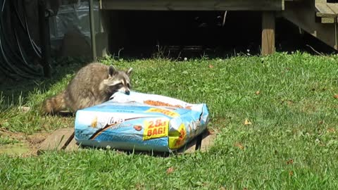 Raccoon snatches giant bag of cat food
