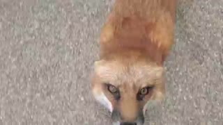 Finnegan Fox throws a temper tantrum