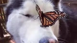 Husky Has Adorable Reaction to Butterfly