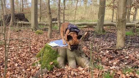 French bulldog going on a picknick