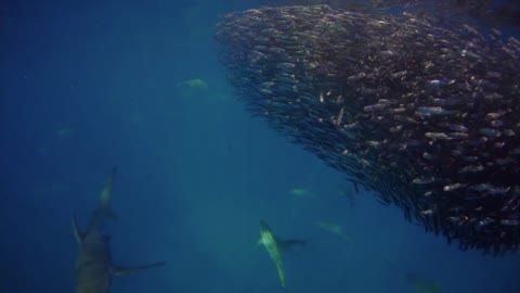 Sharks Round up Bait Balls on the Ningaloo Reef