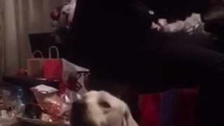 White dog howling at owner playing piano
