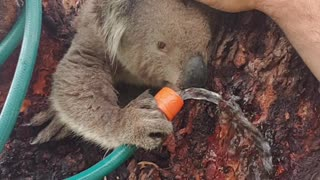 Cute Koala Quenches its Thirst