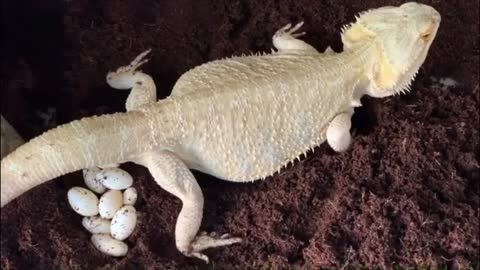Bearded Dragon Busting A Move
