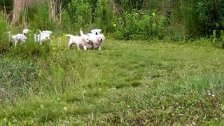 Adorable Labrador puppies chase their mother