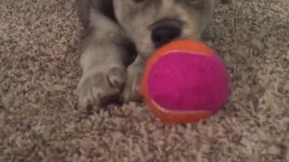 Grey dog playing with pink ball on ground - Video