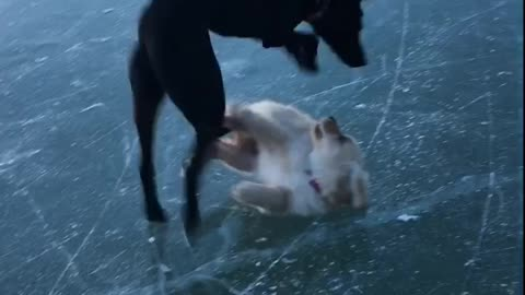 Puppy plays on ice, inevitably wipes out