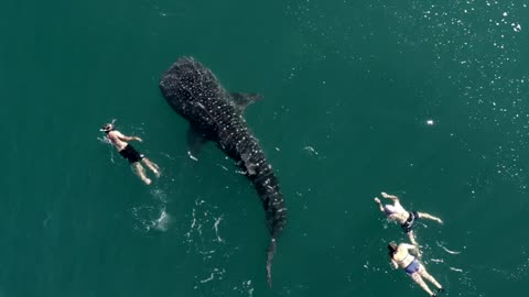 Majestic Whale Shark swims with humans