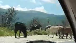 Cows on the road Prilep-Gradsko on Pletvar - Be careful