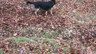 Dog and Rooster love playing chase together.